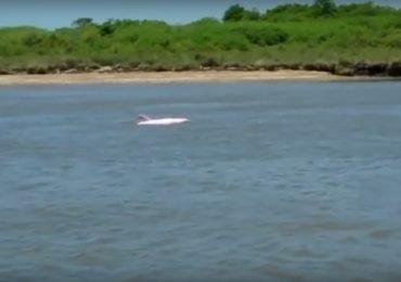 ¿A qué se debe el color del raro delfín rosado?