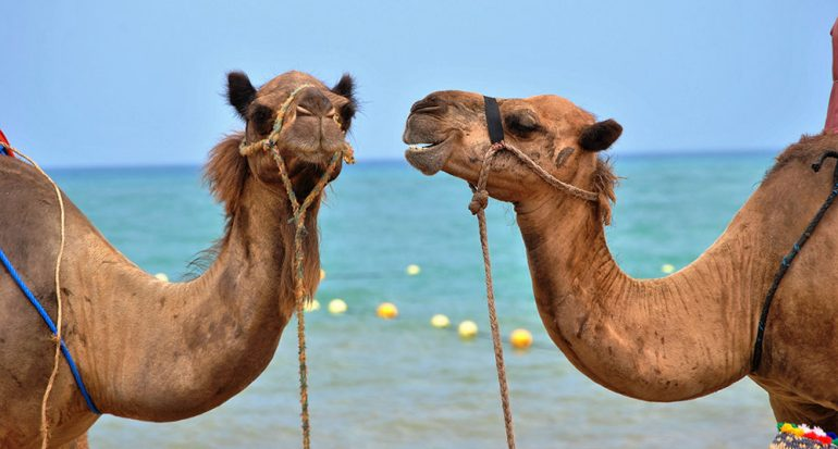 ¿A qué temperatura comienza a sudar un camello?