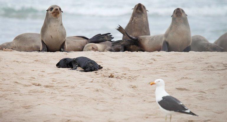¿Cómo atacan las gaviotas a las crías de los lobos marinos?