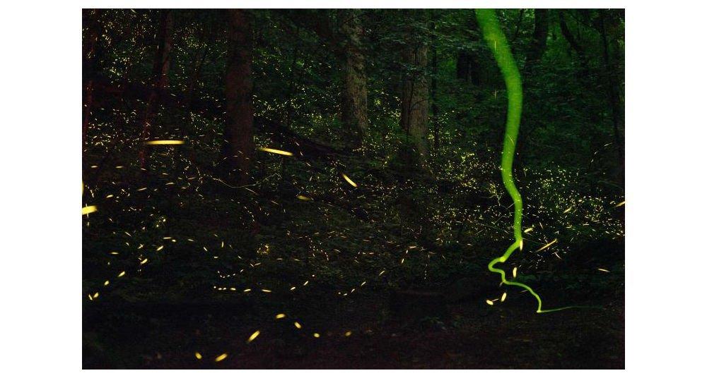 """¿Cómo brillan las luciérnagas? (¿y qué las """"prende""""?)"""