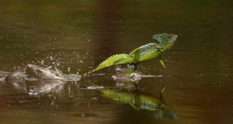 ¿Cómo camina sobre el agua el basilisco?