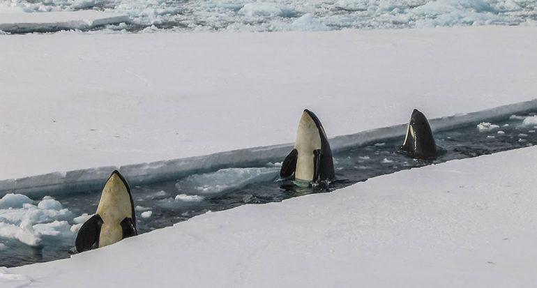 ¿Cómo cazan las orcas a las focas?