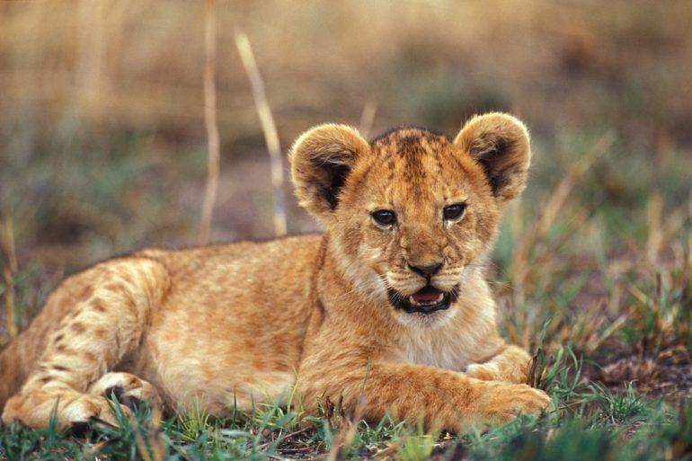 ¿Cómo proteger a los leones?