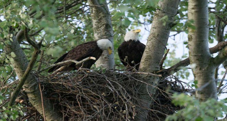 ¿Cómo se aparean las águilas calvas?