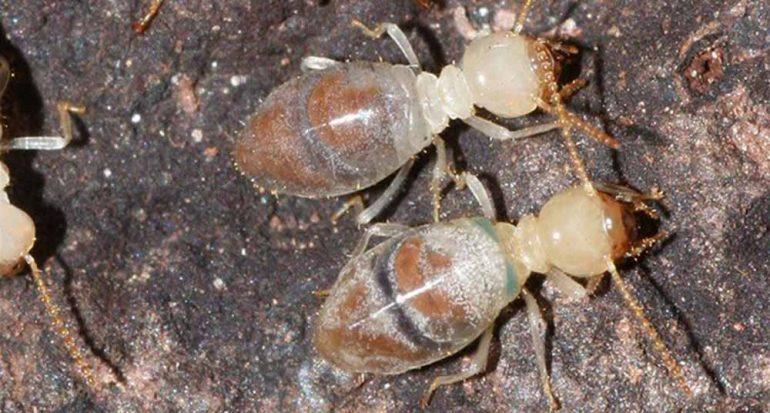 ¿Cómo se defienden las termitas?