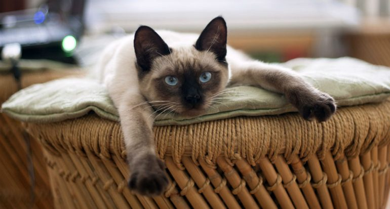 ¿Cómo se domesticaron los gatos salvajes?