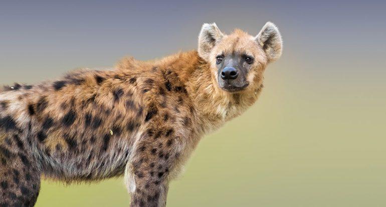 ¿Cómo sobreviven las hienas?