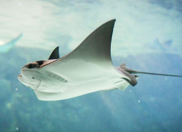 ¿Cuál animal es el pariente más cercano de los tiburones?