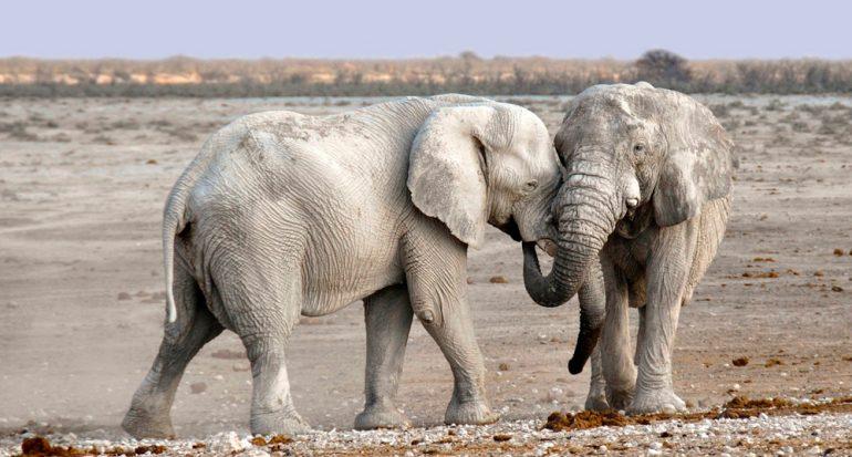 ¿Cuál es el único mamífero que no puede saltar?