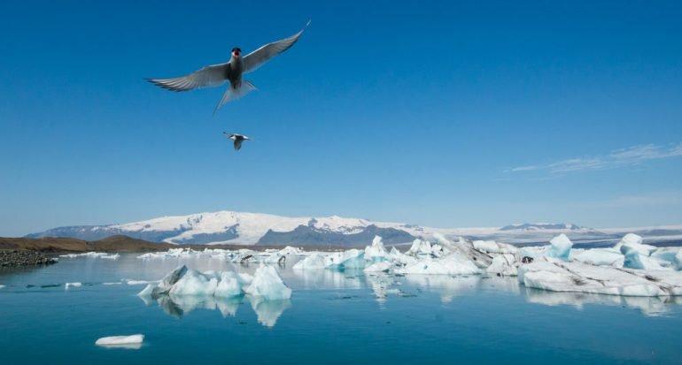 ¿Cuál es el ave que migra más lejos?