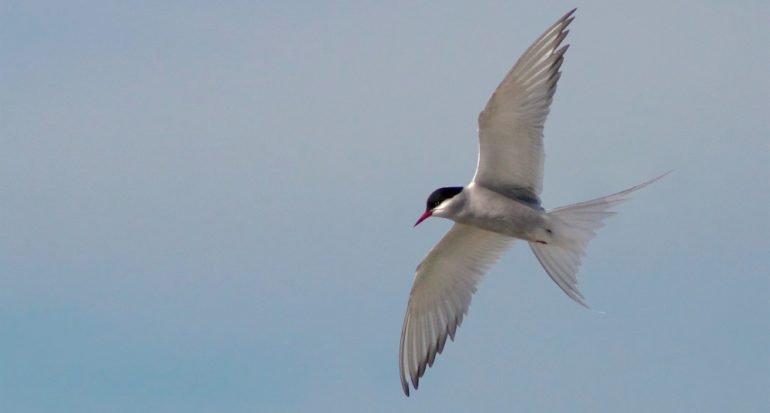 ¿Cuál es el ave que vuela más kilómetros?