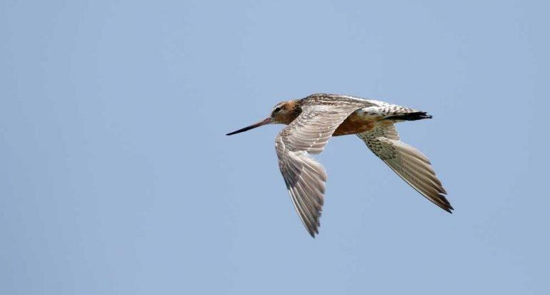 ¿Cuál es el ave que vuela más tiempo sin parar?