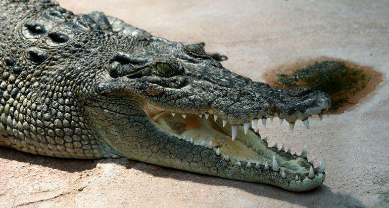 ¿Cuál es el cocodrilo más grande del planeta?