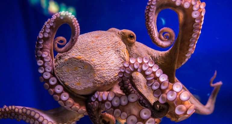 ¿Cuál es el invertebrado más inteligente?