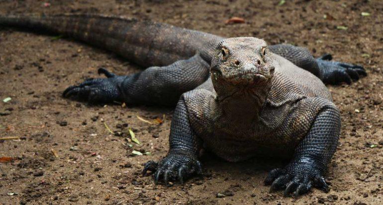 ¿Cuál es el lagarto más grande del planeta?