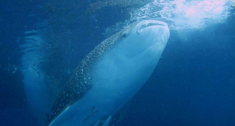 ¿Cuál es el pez más grande del planeta?