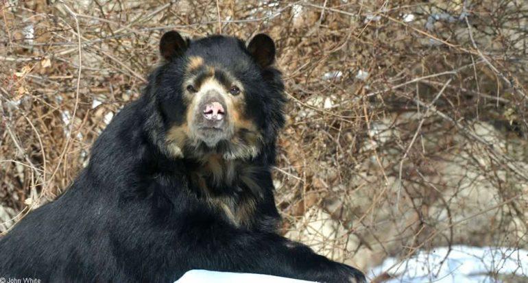 ¿Cuál es la única especie de oso que vive en América del Sur?