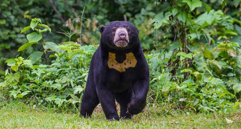 ¿Cuál es la especie de oso más pequeña del mundo?