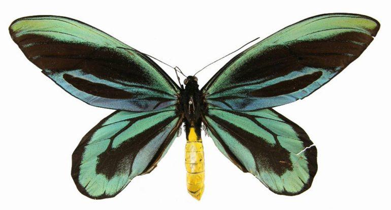 ¿Cuál es la mariposa más grande del mundo?