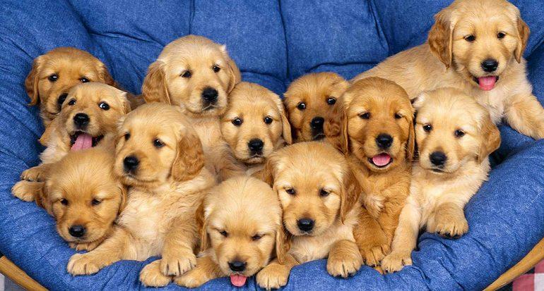 ¿Cuál ha sido el parto con más cachorros registrado en la historia?