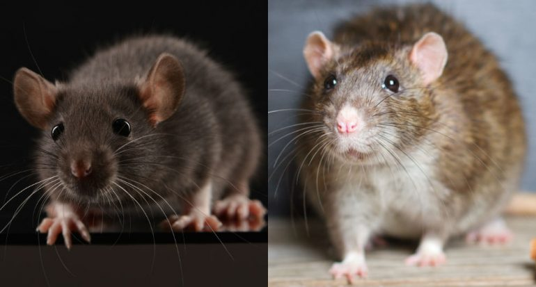 ¿Cuáles especies de rata son las más numerosas?