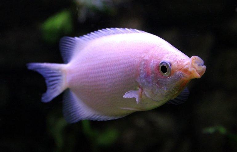 ¿Cuáles son los peces que se besan?