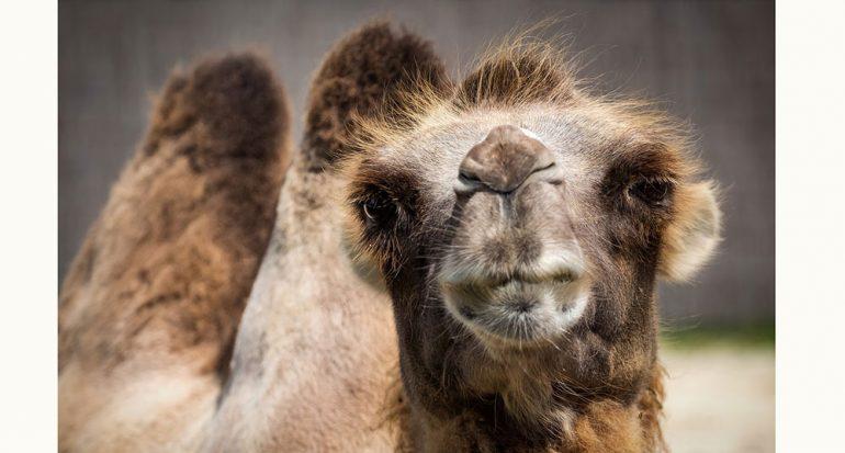 ¿Cuánta agua puede beber un camello?