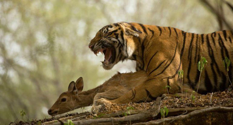 ¿Cuánta carne come un tigre?