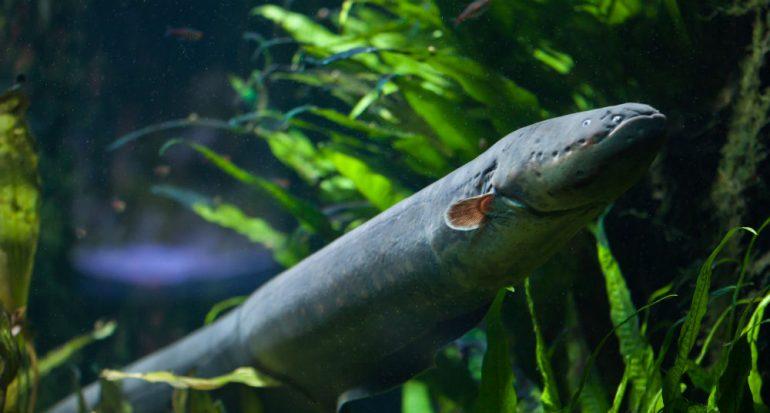 ¿Cuánta electricidad puede producir una anguila eléctrica?