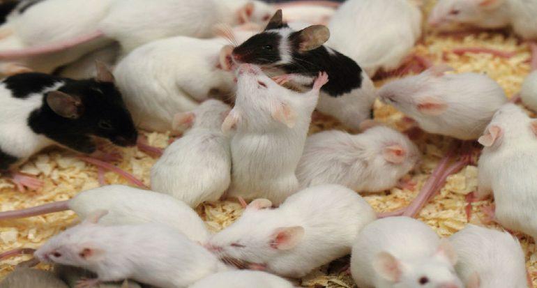 ¿Cuántas crías puede tener un ratón?