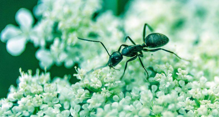 ¿Cuántas especies de hormigas existen?