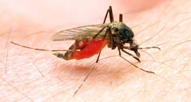 ¿Cuántas especies de mosquito transmiten la malaria?