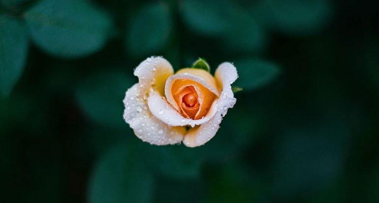 ¿Cuántas especies de rosas existen en el mundo?