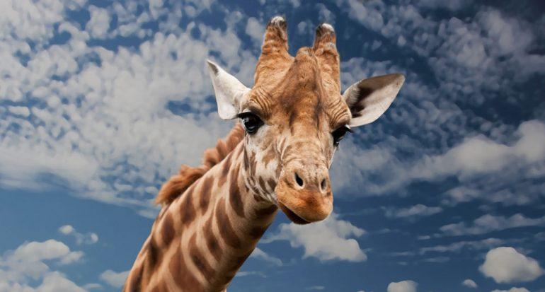 ¿Cuánto mide la lengua de una jirafa?
