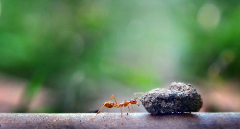 ¿Cuánto peso puede levantar una hormiga?