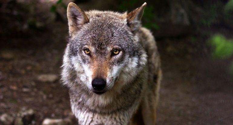 ¿Cuánto puede aguantar un lobo sin comer?