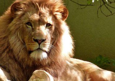 ¿Cuánto puede vivir un león?