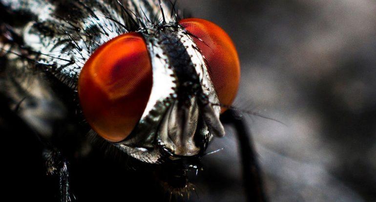 ¿Cuánto puede vivir una mosca?