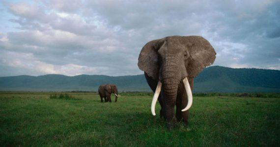 ¿Cuánto pueden medir los colmillos de los elefantes?