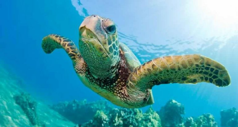 ¿Cuánto tiempo puede permanecer una tortuga verde bajo el agua?