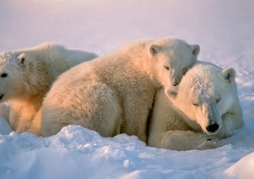 ¿Cuántos años vive un oso polar?