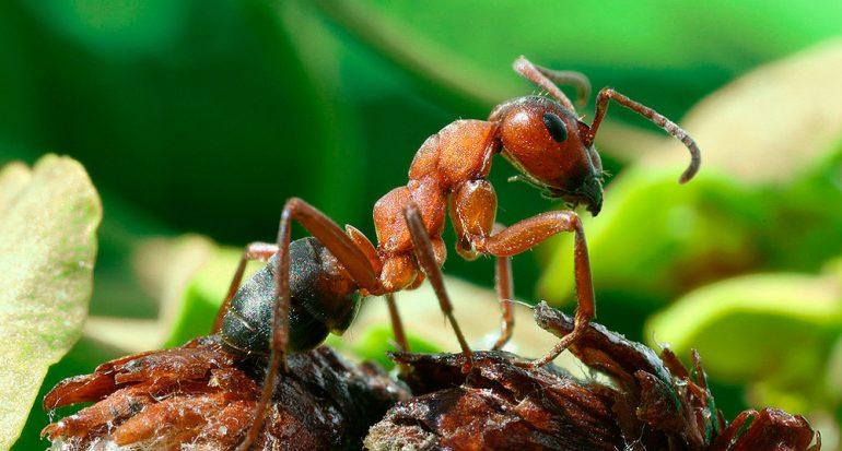 ¿Cuántos años viven las hormigas reina?