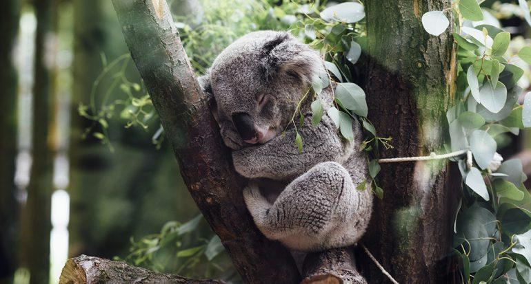 ¿Cuántos años viven un koala?