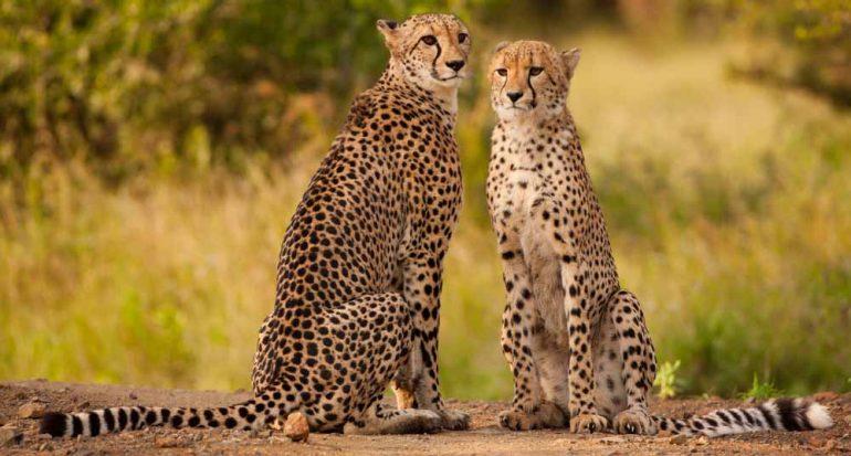 ¿Cuántos guepardos quedan en el mundo?