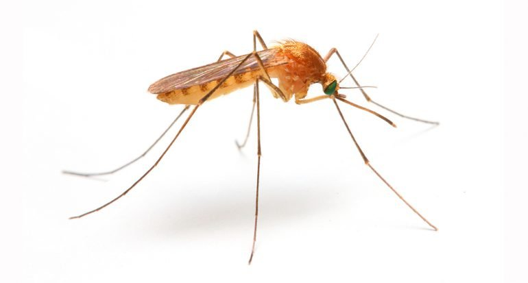 ¿Cuántos huevos pueden poner los mosquitos a la vez?
