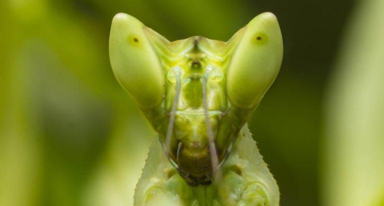 ¿Cuántos ojos tiene la mantis religiosa?