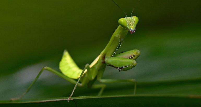 ¿Dónde tiene el oído la mantis religiosa?