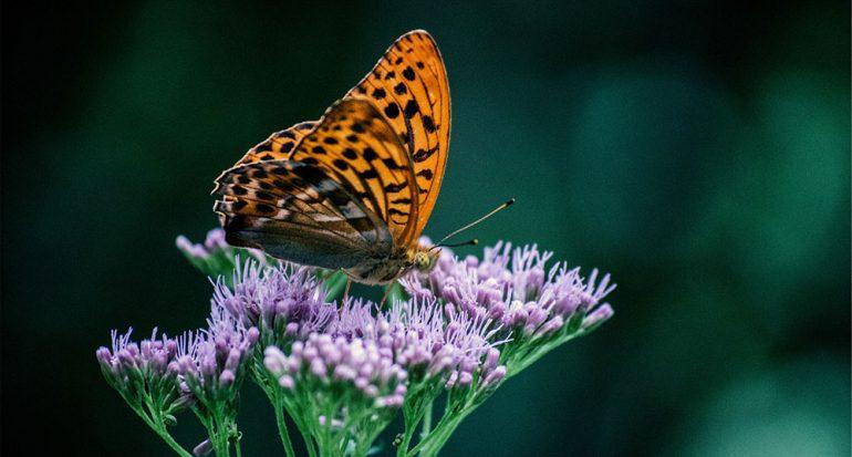 ¿Dónde tienen los oídos las mariposas?