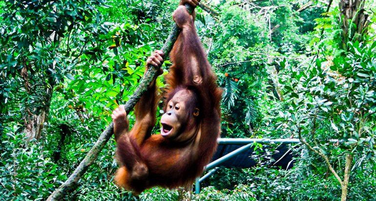 ¿De dónde proviene la palabra ?orangután??