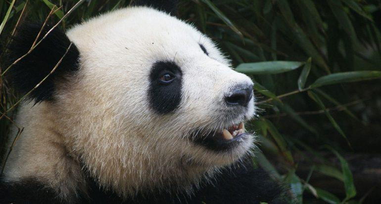¿De qué color nacen los pandas?